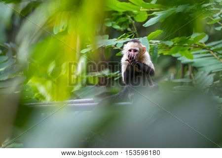 White Headed Capuchin Monkey