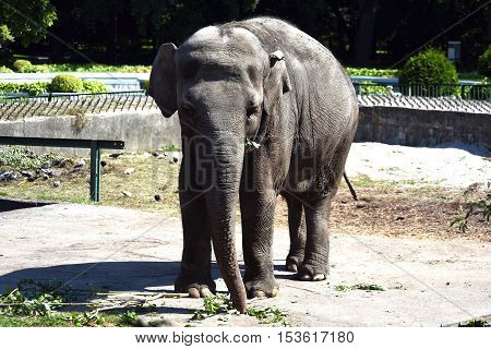 Big beautiful elephant stands in the open zoo