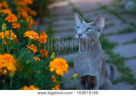 Young Oriental Gray Cat On Walk In Flower Garden Summer. Oriental Breed. Cat Walks On Nature.