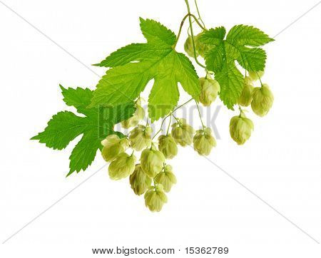 Fresh isolated hop plant in detail