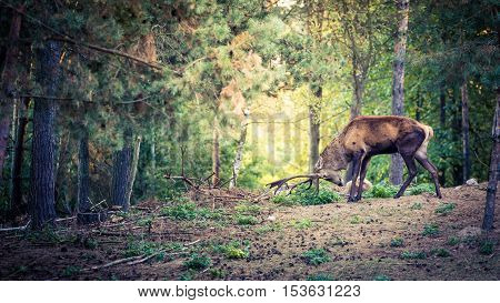Deer With Large Horns In The Forest