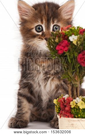 Cute fluffy siberian kitten with a bouquet in the foreground over white background