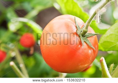 One Juicy And Ripe Tomato