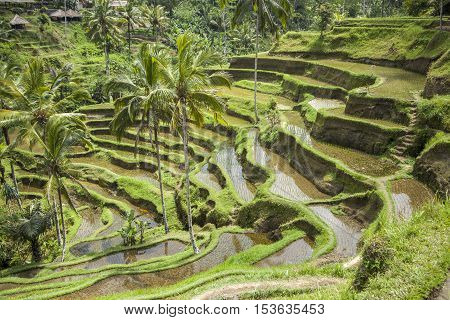 A Tegalalang rice terrace views of Bali in Indonesia.