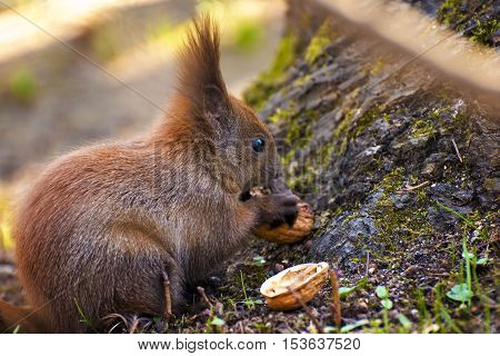 A Red Squirrel Sitting in Autumn Eating a Hazelnut.
