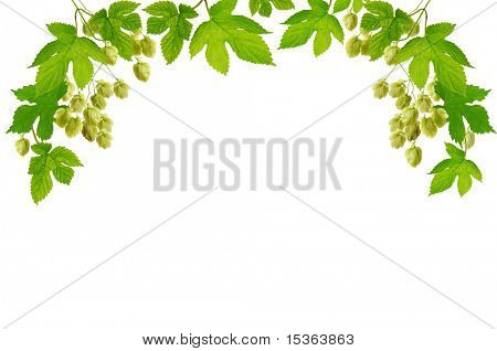 Frame with fresh hop branches, isolated on white background