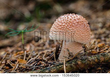 Edible Mushrooms Amanita Rubescens