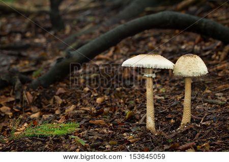 Edible mushrooms with excellent taste Macrolepiota procera