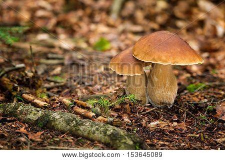 Edible Mushrooms Boletus Edulis