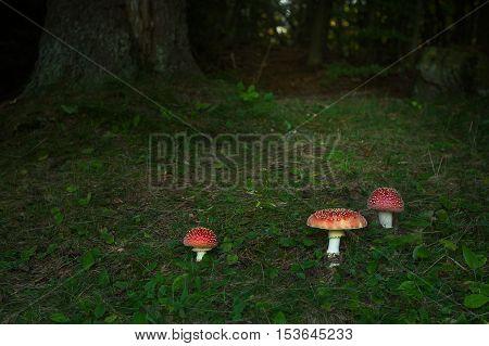 Inedible Fungus Amanita Muscaria