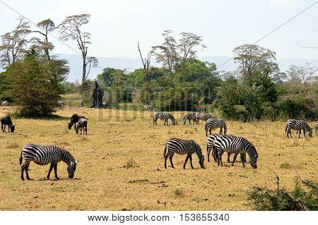 Herd of zebras and wildebeest grazing in the savannah