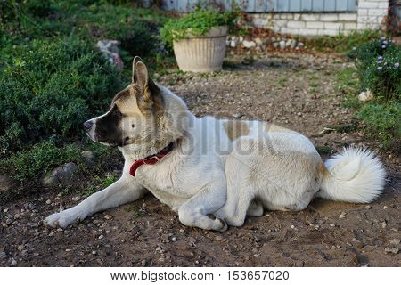 akita, portrait, american, japanese, inu, dog, young, animal, pet