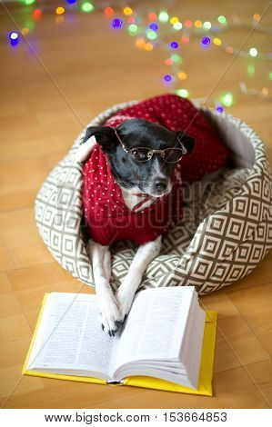 Preparation for christmas holidays. Black-and-white dog bespectacled and in a reindeer suit put paws on the open book. A joke of owners of a dog. Merry Christmas. Happy New Year.