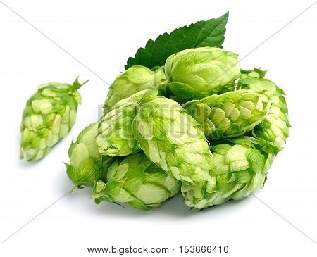 Hop plant isolated on white backgrounds .