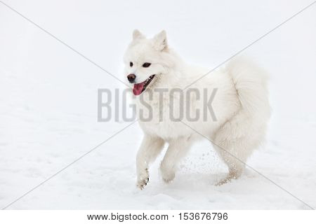white Samoyed dog walks through the snow