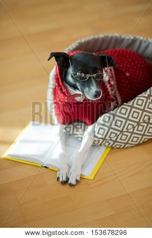 Dog with clever and kind eyes lying on his couch in the middle of an empty room. The owners jokingly dressed her in a red suit and glasses. The dog put his paws on the open book as if reading.