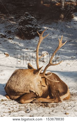 Red deer resting in winter forest. Shallow focus