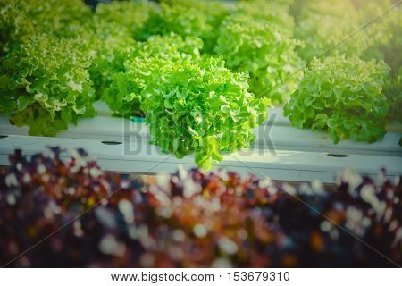 Athletic organic salad grown in greenhouses Thailand.