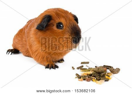 guinea pig with dry pet food on white background