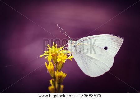 Closeup Cabbage White Butterfly On Flower