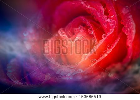 Soft and blur of fantasy red rose petal with drop on blue light