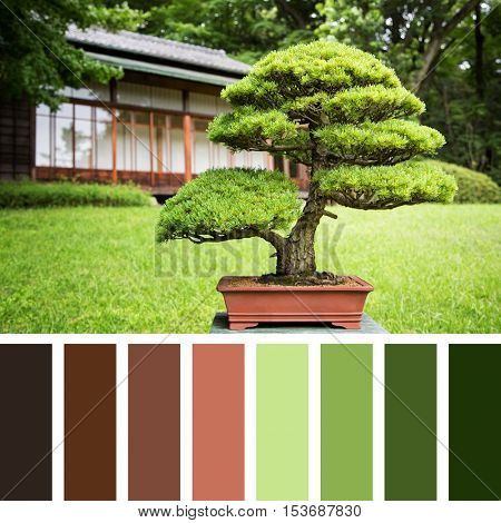 Japanese bonsai tree in red terracotta pot, In a colour palette with complimentary red and green toned colour swatches.