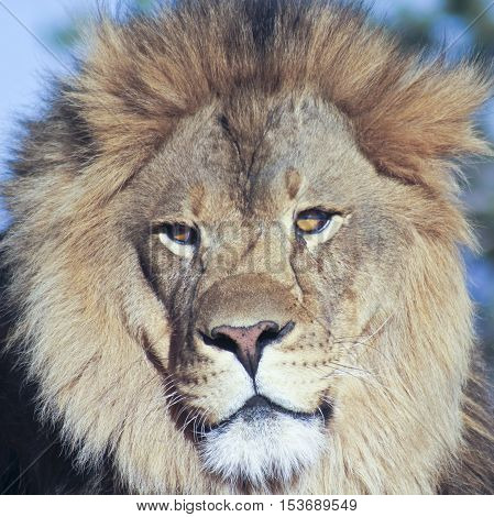 A Close Portrait of the Head of an African Lion Male