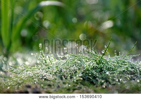 Green grass in drops of morning dew close up with bokeh.