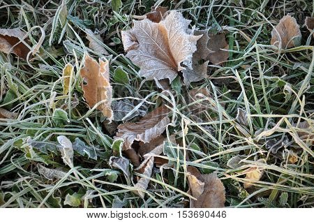 Winter natural background. Frozen grass with brown maple leaves close up.