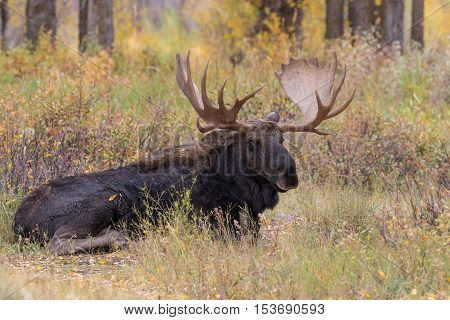 a bull shiras moose bedded during the fall rut