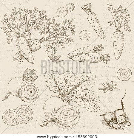 Set of chalk sketch hand drawn, in sketch style, food and spices, old paper textured background. Vegetable set beet leaves, beets sliced, carrots with leaves, sliced carrots. Hand drawn vector illustration.