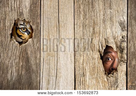 Siberian tiger and human eye in wooden hole in concept of scared