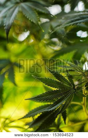 Natural Background With Marijuana Leaves Indoor