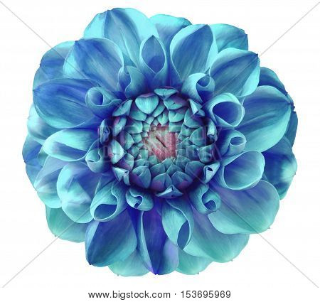 Dahlia flowerblue turquoise; pink center white background isolated with clipping path. Closeup. with no shadows. Nature.
