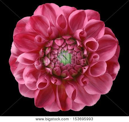 Dahlia flower bright pink , green center black background isolated with clipping path. Closeup. with no shadows. Nature.