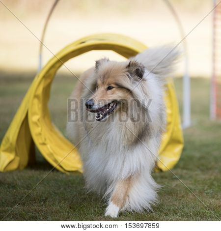 Dog, Scottish Collie, running in training agility