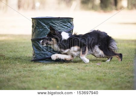Dog, Border Collie running in hooper training