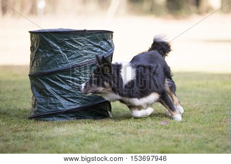 Border Collie dog running in hooper training