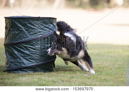 Dog, Border Collie, running in an agility training