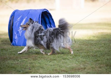 Dog, Shetland Sheepdog, running at training agility