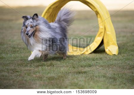 Dog, Shetland Sheepdog Sheltie in agility competition