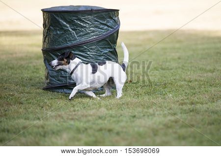 Dog, Jack Russell Terrier, running in a hooper training