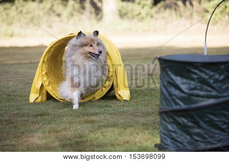 Scottish Collie running through agility tunnel hoopers