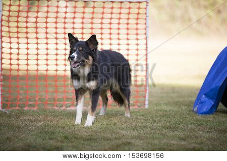 Dog, Border Collie standing in hooper training