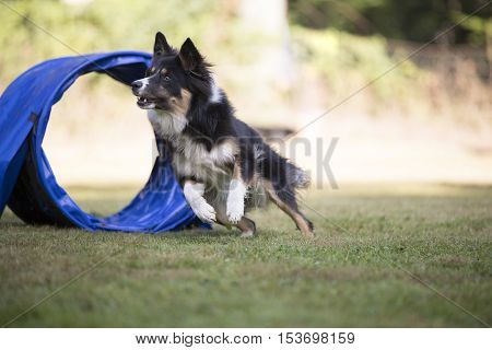 Dog, Border Collie running agility in competition