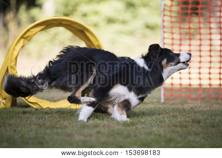 dog, Border Collie running in hooper competition