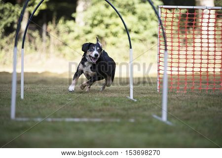 Dog, Appenzeller Mountain Dog in training hoopers
