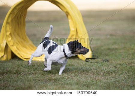 Dog, Jack Russell Terrier, running in agility training