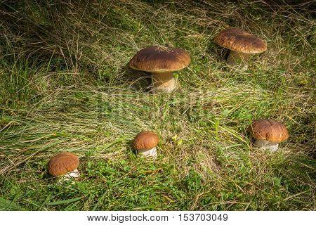 Five Edible Mushrooms Boletus Edulis