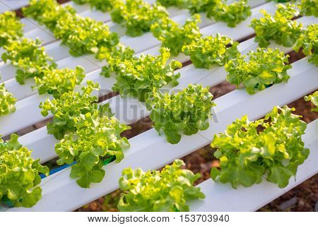 Hydroponics method of growing plants using mineral nutrient solutions in water without soi Hydroponics plant.